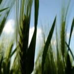 大麦若葉が炎症やストレス性潰瘍に効く?大麦若葉の豊富な栄養素について